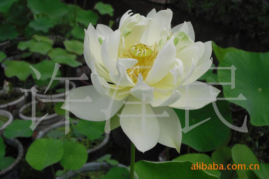 基地百丽盆栽荷花种苗 种子 花卉 藕苗疯卖 -其他园艺花卉 中国黄页