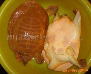 长期供应优质黄甲鱼;外塘专业养殖仿野生鳖;特种水产;无公害鲜活;