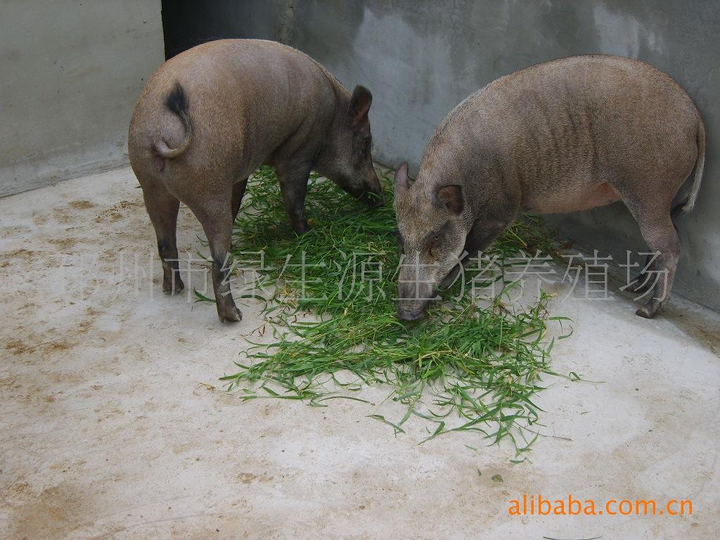 野猪种猪,野猪养猪,特种野猪养殖,野猪肉,育肥猪