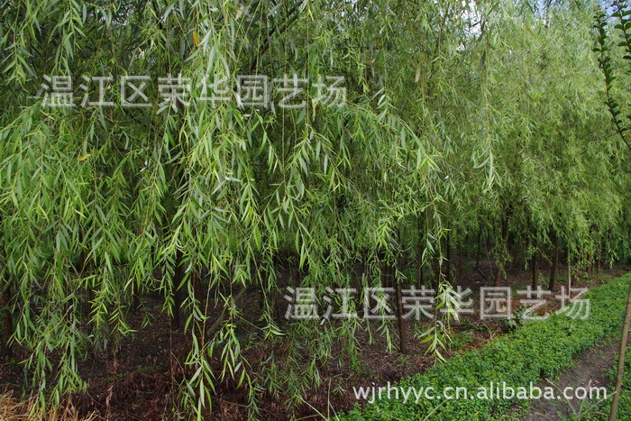 大量供应花卉苗木 产地直销一级优质绿化苗木垂柳