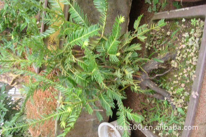 乔木 供应庭院种植红豆杉,红豆杉盆景,红豆杉风景树 乔木尽在阿里