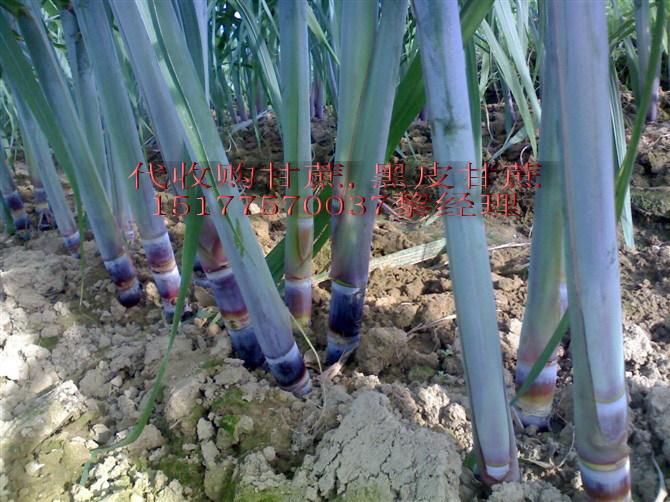代收购,大量批发出售广西博白县三滩镇,黑皮甘蔗种子,大灰种子