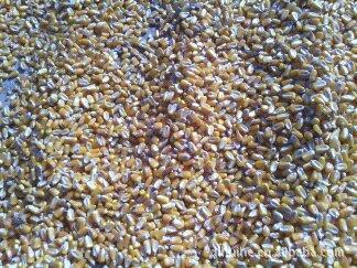 供应优质吉林玉米