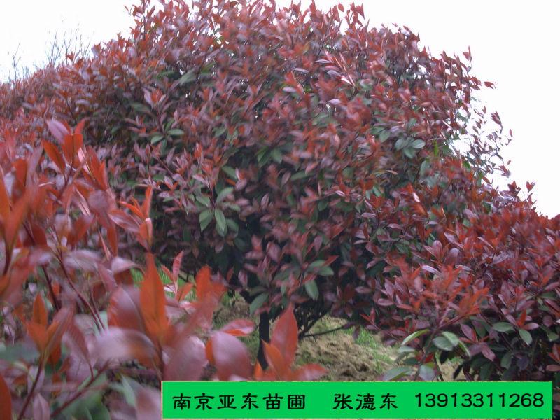 低价供应冠150公分的红叶石楠,成活率高,价格便宜,欢迎来看苗