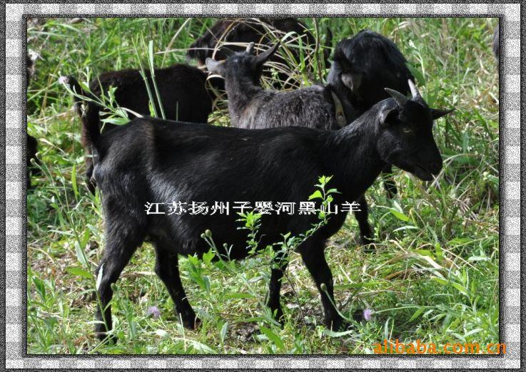 江苏山羊育种中心,供应优质山羊,黑山羊供应沧山,常德,长沙等