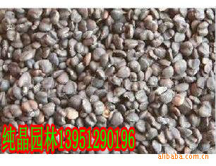 供应优质 紫玉兰种子 白玉兰种子 木瓜种子 等各种苗木种子 种苗