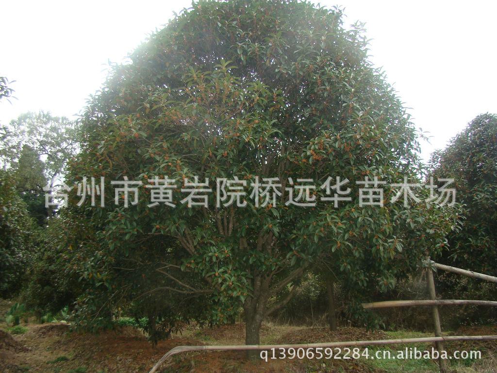 【低价供应】台州 桂花树苗 红花丹桂 【8-10公分上】桂花树