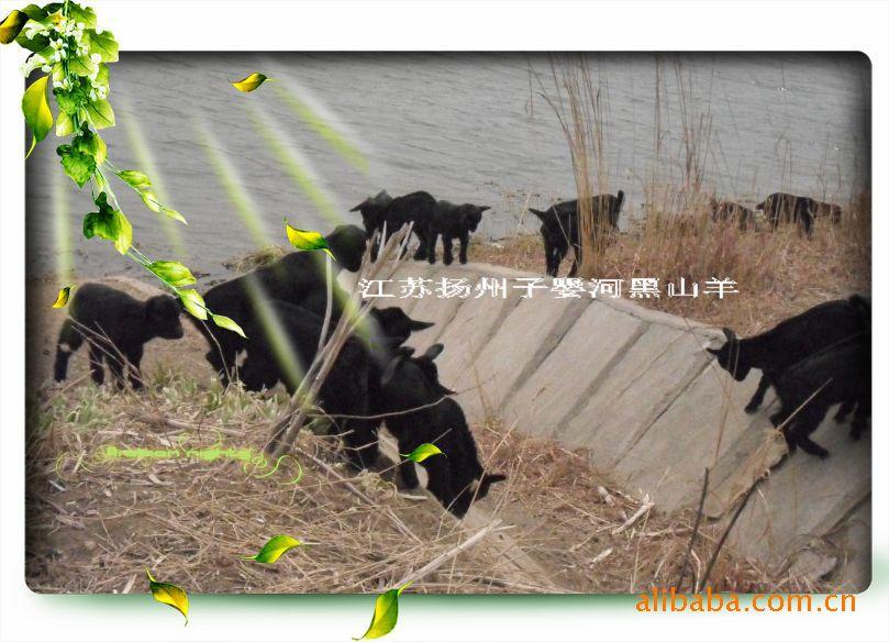 黑山羊羊羔,纯生态养殖放养,供应北京、上海、广州、四川、云南