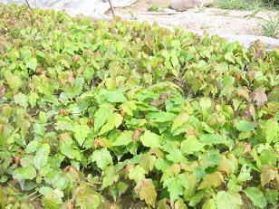 花木花卉园艺出售彩叶树种 美国红枫苗 鸡爪槭小苗