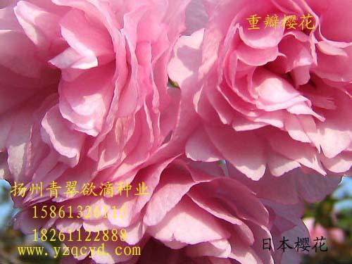 【专业批发樱花种子、樱花种子批发、特价30元/斤】