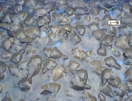 浙江嘉兴有益水产养殖 甲鱼