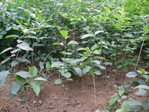 流苏树苗 大小苗 绿化苗木批发 工程花卉 盆栽 嫁接桂花