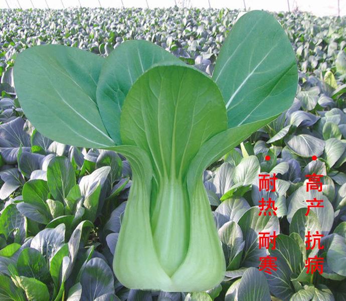 供应小美—早熟 青梗菜 种子