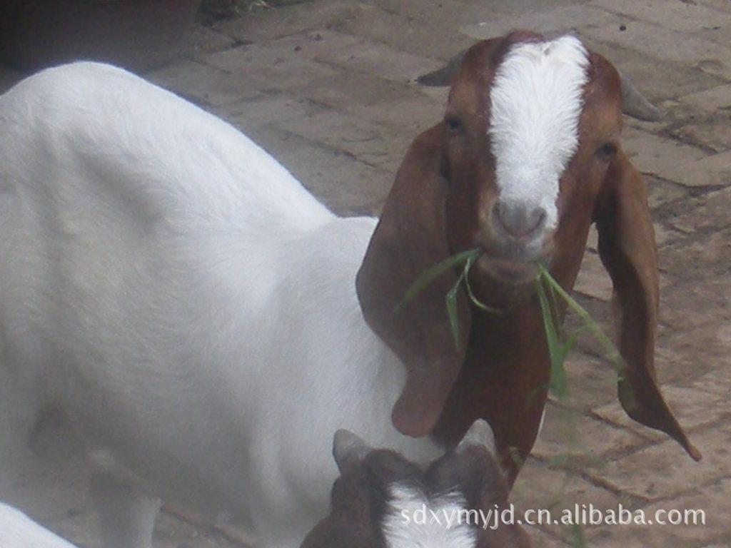 供给农业牛羊养殖|零售肉羊|养殖波尔山羊|波尔山羊种羊