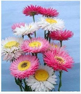花卉种子 麦秆菊 混色重瓣 2元1克(约1200粒)