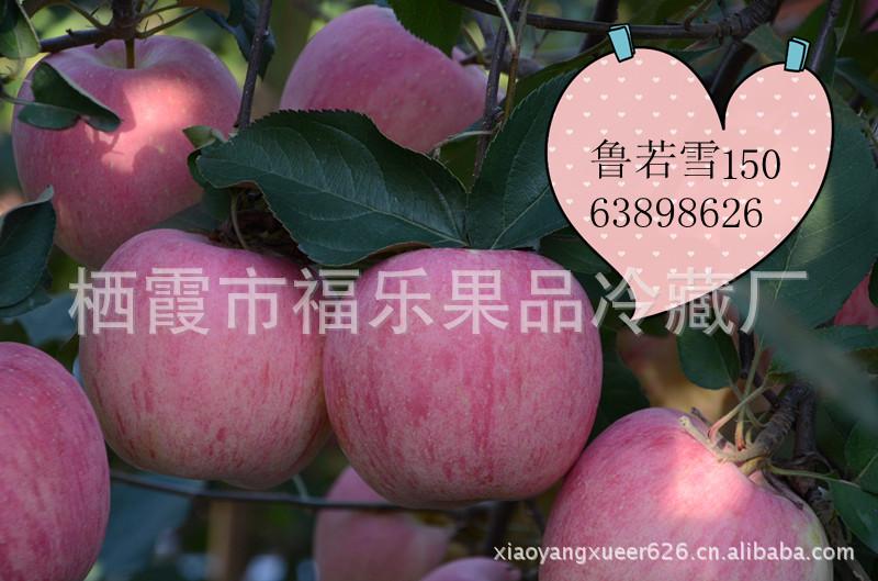 烟台有机苹果   新鲜红富士 大量批发团购