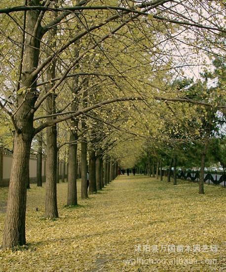 [精品]银杏树 白果树 优质绿化工程苗木 量大价格优惠