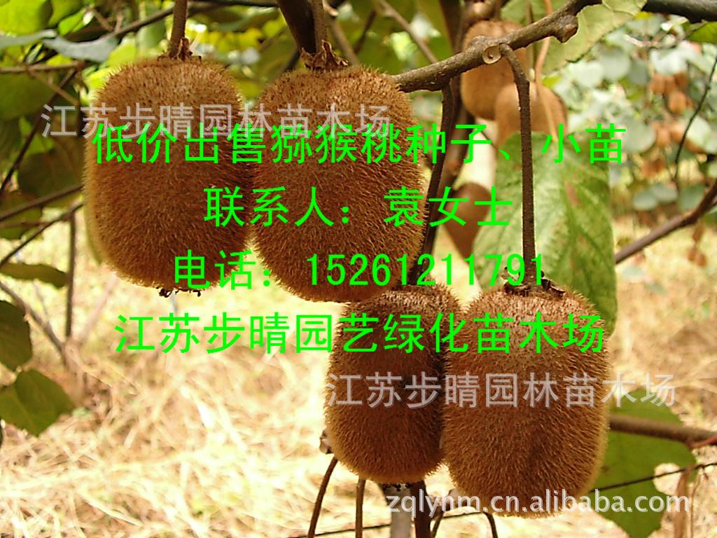 盆栽石榴树 湿地绿化石榴树 基地供应 石榴苗 花石榴 阿里巴巴