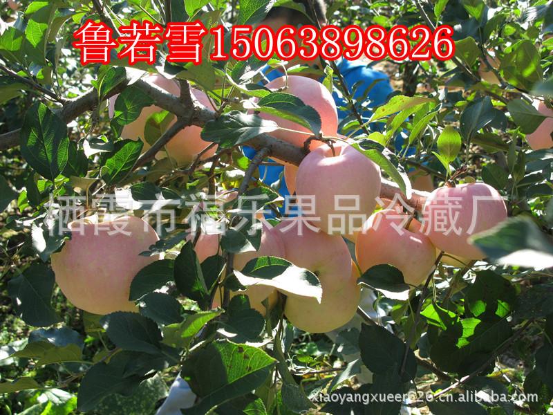 烟台有机苹果   新鲜红富士 大量上市啦