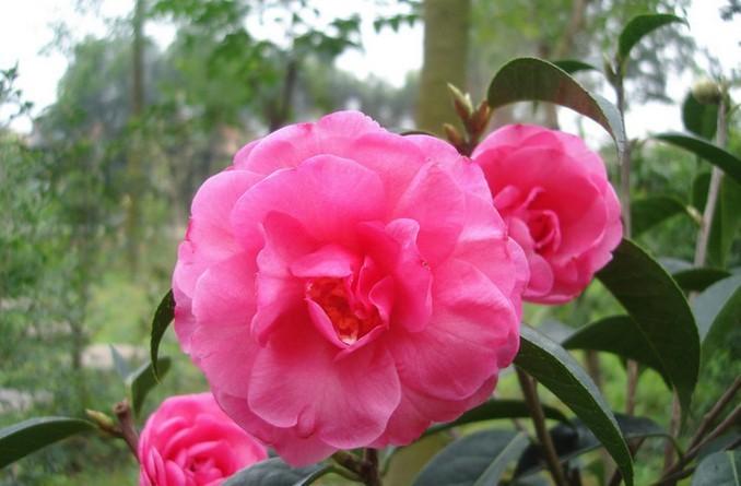 种子 种球 茶花种子 茶花树种子 四季可播 观叶观花种可药用茶花种子