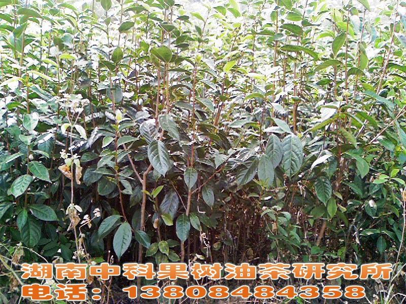 2米中科大果红花油茶苗