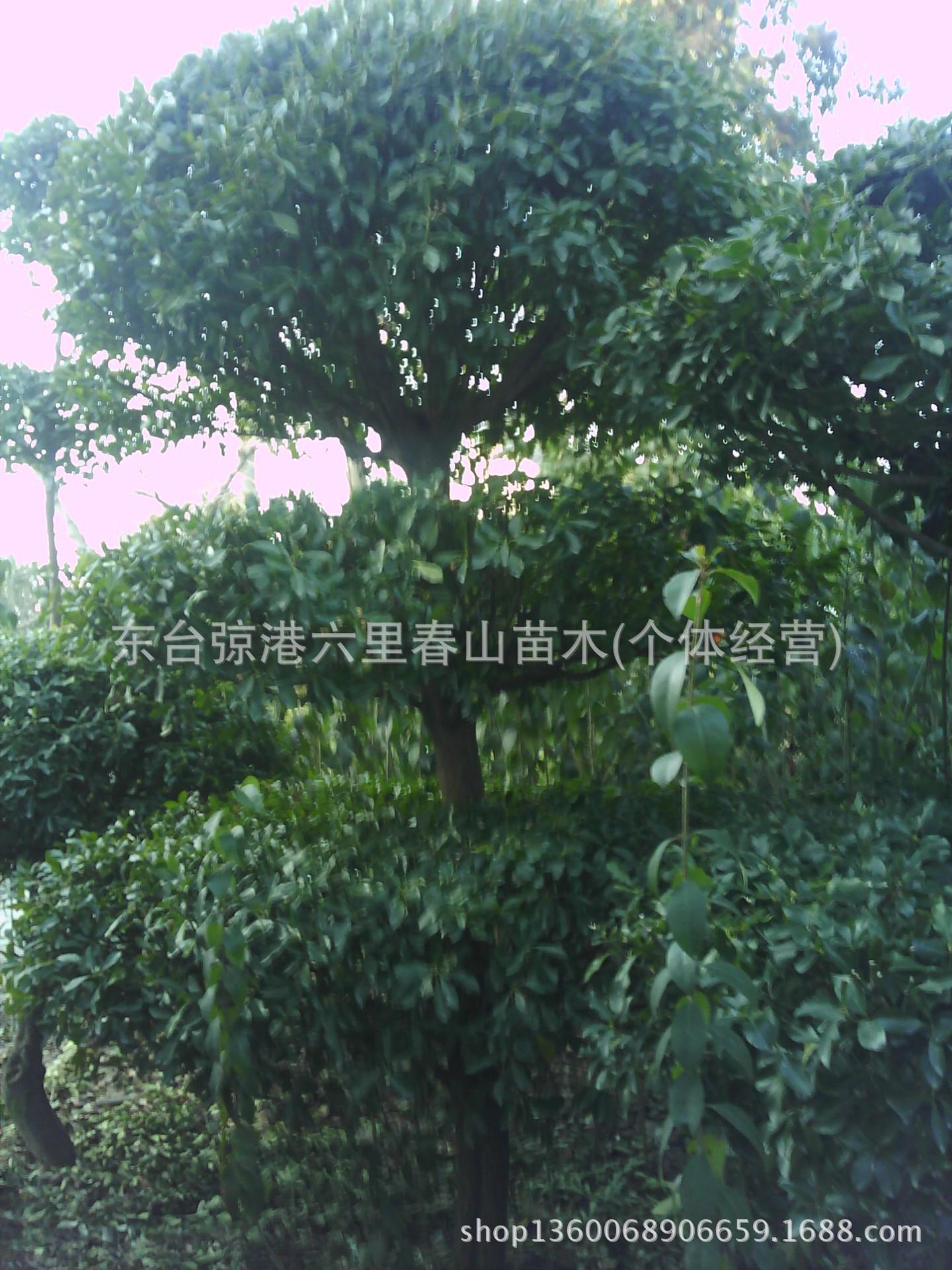 大叶黄杨造型树