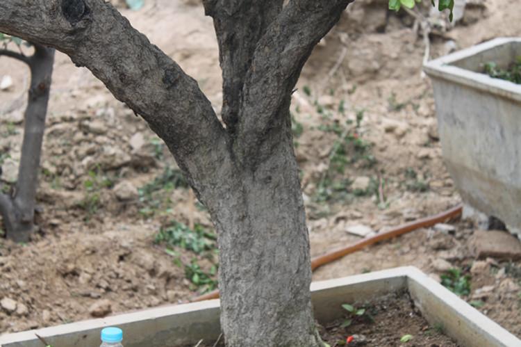 石榴盆景 老根树桩 造型好看 观赏力高大师造型直销