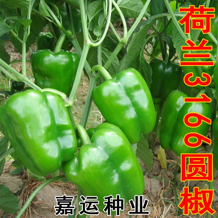 寿光蔬菜种子 荷兰3166进口甜椒种子 辣椒种子 1.2元2粒图片_5
