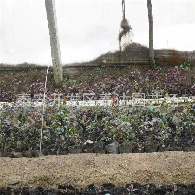 盆栽蓝莓苗 供应盆栽蓝莓苗 云南蓝莓苗价格 蓝莓苗基地 阿里巴巴