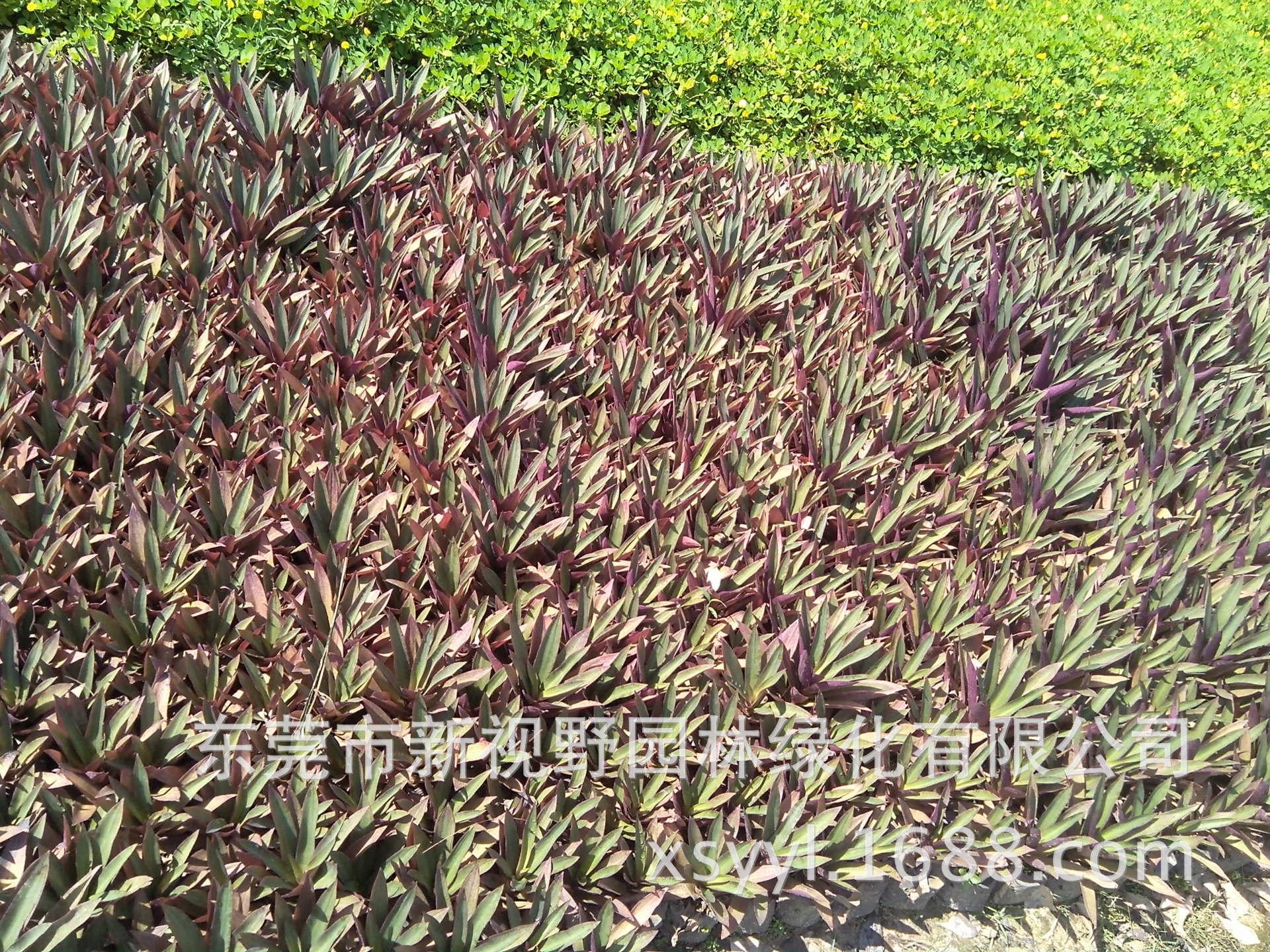 大量批发供应紫万年青叶蚌花叶红蚌兰叶紫蒀紫兰红面将军袋