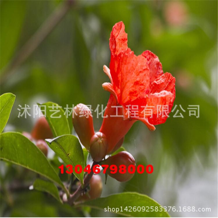 果树 供应石榴树苗 果树苗 庭院盆栽植物 挂果多 当年结果 基地直销 果