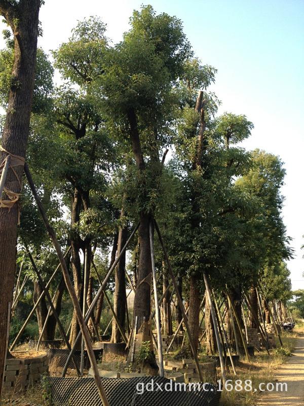 广东省普宁香樟 直销绿化苗木 乔木灌木绿化工程用苗