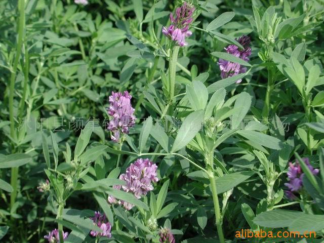 供应 - 紫花苜蓿 优质进口牧草种子 紫苜蓿草籽