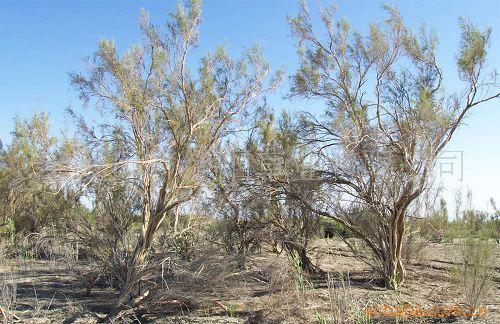 供应治沙先锋植被恢复优质灌木梭梭种子