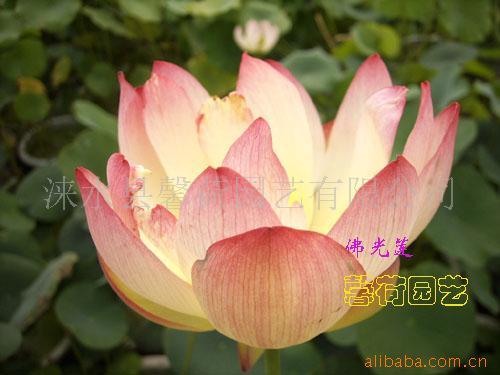 馨荷观赏盆栽荷花精品种子(佛光莲等珍稀品种)
