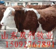 改良育肥肉牛种牛犊品种 养殖改良肉牛投资育肥成本 肉牛育肥利润
