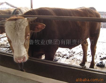 西门塔尔肉牛,山东华鲁肉牛养殖场  华鲁养殖场---专家牛场