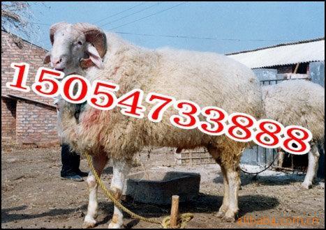 最赚钱的小羊羔怎样养殖管理